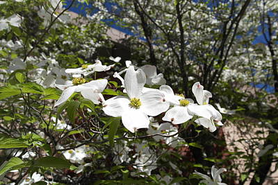 Photograph - White Dogwood Cascade by Michele Myers