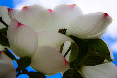 White Dogwood Flower Art Print by David Patterson