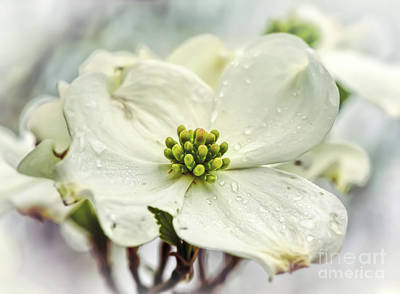 Photograph - White Dogwood by Kerri Farley