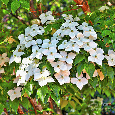 Photograph - White Dogwood Tree Bouquet by Carol Groenen