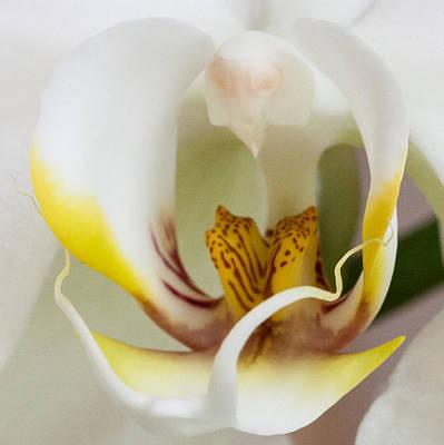 Photograph - White Doritaenopsis by Jeff Folger