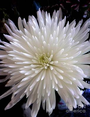 Photograph - White Double Chrysanthemum by Joan-Violet Stretch