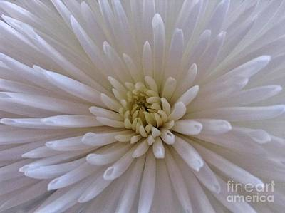 Photograph - White Double Chrysanthemum Macro by Joan-Violet Stretch