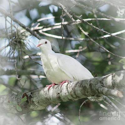 Photograph - White Dove Messenger by Ella Kaye Dickey