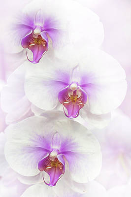 Photograph - White Dream Of Moth Orchids by Jenny Rainbow