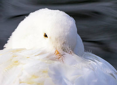 Photograph - White Duck - Madison - Wisconsin by Steven Ralser