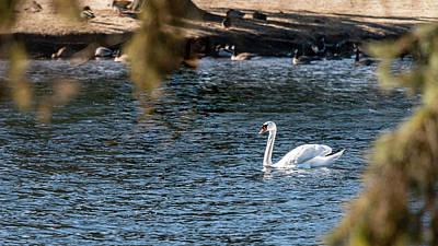 Photograph - White Duck by Onyonet  Photo Studios