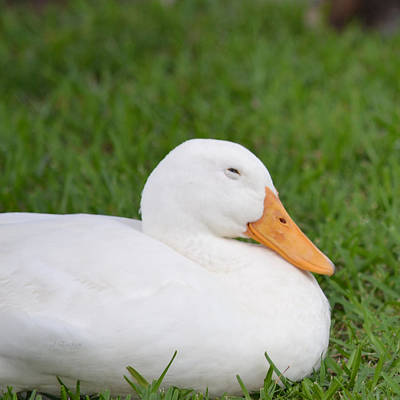 Photograph - White Duck Trying To Sleep by rd Erickson