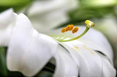Photograph - White Easter Lily by Carol Montoya