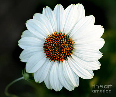 Photograph - White Echinacea Flower by Karen Adams