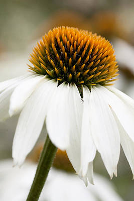 Yellow Flower Photograph - White Echinacea by Lise-Lotte Larsson