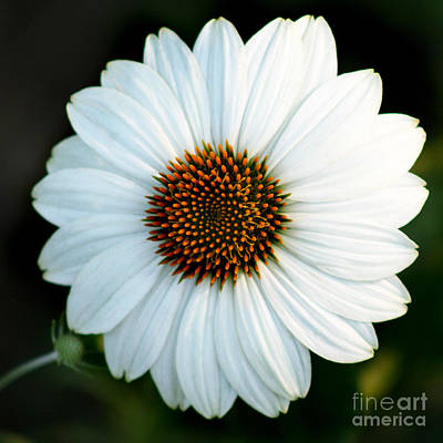 Photograph - White Echinacea Square by Karen Adams