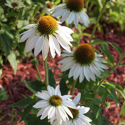 Photograph - White Echinacea In Pastel by Suzanne Gaff