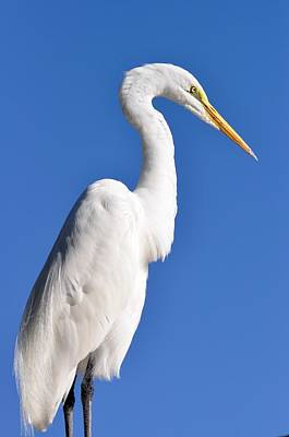 Photograph - White Egret Against Blue Sky by Rose  Hill