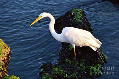 White Egret At Sunrise - Barnegat Bay Nj  Art Print