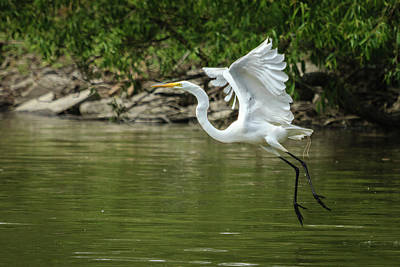 Photograph - White Egret Gliding In by Joni Eskridge