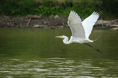 Photograph - White Egret In Flight by Joni Eskridge