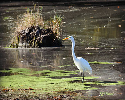 Photograph - White Egret In The Shallows by Kathy M Krause