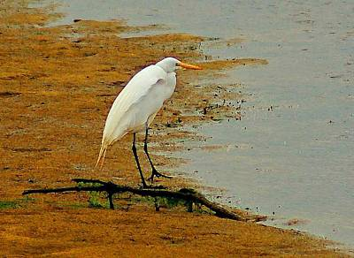 White Egret Original by Michael Thomas