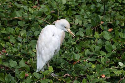 Photograph - White Egret by Monte Stevens
