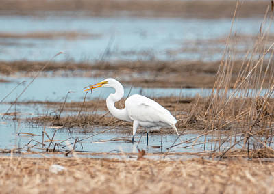 Photograph - White Egret With His Meal by Lilia D