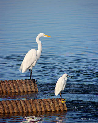 Photograph - White Egrets by Deana Glenz