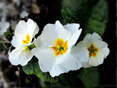 Photograph - White English Primroses by Joyce Dickens