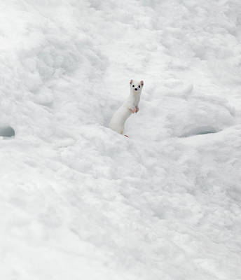 Weasel Photograph - White Ermine  2 by Leland D Howard