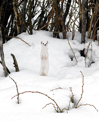 Weasel Photograph - White Ermine by Leland D Howard