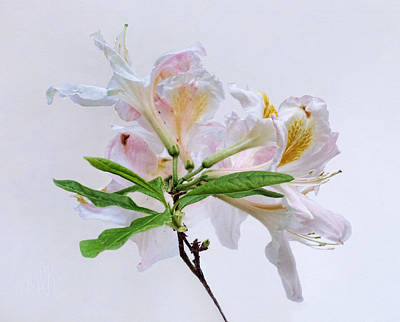 Photograph - White Exbury Azalea Blooms by Louise Kumpf