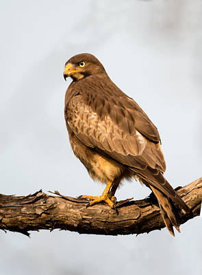Buzzard Wall Art - Photograph - White-eyed Buzzard Butastur Teesa by Panoramic Images