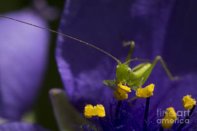 Photograph - White Eyed Grasshopper by Andrea Silies