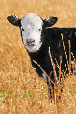 Photograph - White Face Calf by Jennie Marie Schell