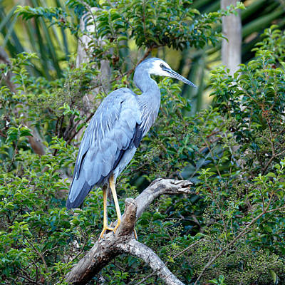 Photograph - White Faced Heron by Nicholas Blackwell