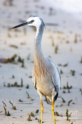 Wetlands Photograph - White Faced Heron by Jorgo Photography - Wall Art Gallery
