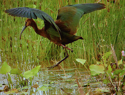 Ready To Fly Photograph - White Faced Ibis 2 by Ruth Housley