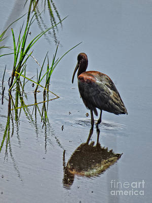 Photograph - White Faced Ibis by Dawn Gari
