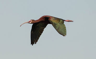 Photograph - White Faced Ibis Flyby by Loree Johnson