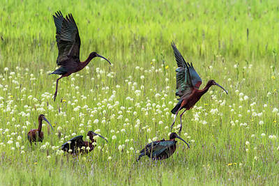 White-faced Ibis Rising, No. 1 Art Print