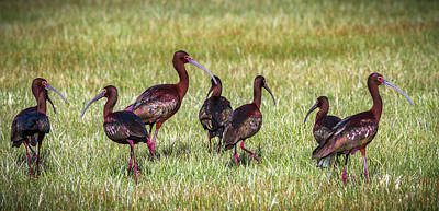 Photograph - White Faced Ibis by TL Mair