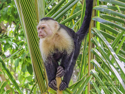 White Faced Monkey In A Tree Art Print by Patricia Hofmeester