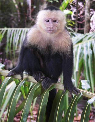 Photograph - White Faced Monkey by Joel Gilgoff