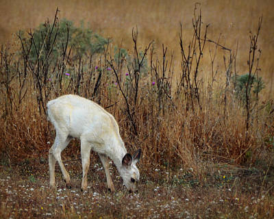 Photograph - White Fawn by Carla Parris