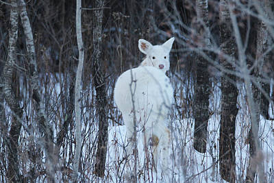 Photograph - White Fawn Look Back by Brook Burling