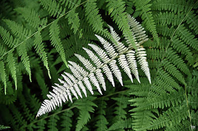 Photograph - White Fern by John Meader