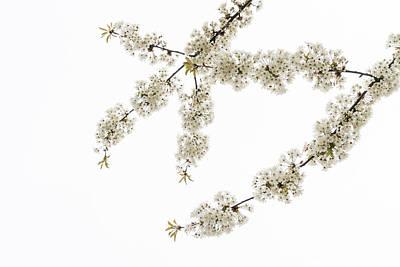 Photograph - White Filigree Of Spring -- D R by Georgia Mizuleva