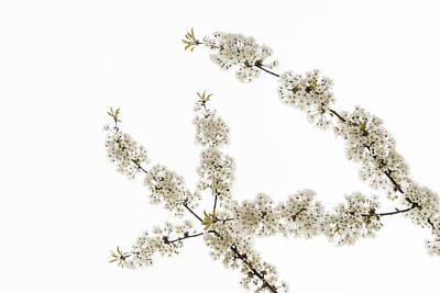 Photograph - White Filigree Of Spring Up R by Georgia Mizuleva