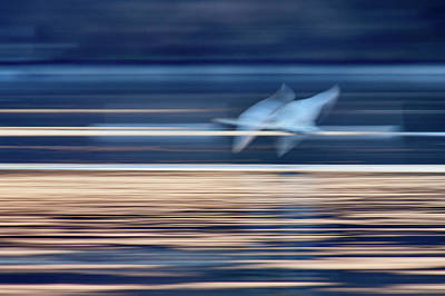 Photograph - White Flames. Whooper Swan by Jouko Lehto