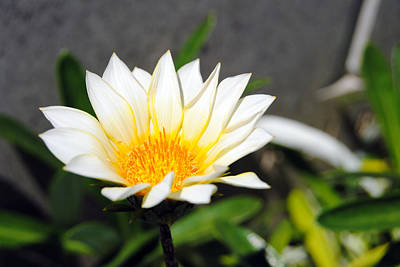 Photograph - White Flower 3 by Isam Awad