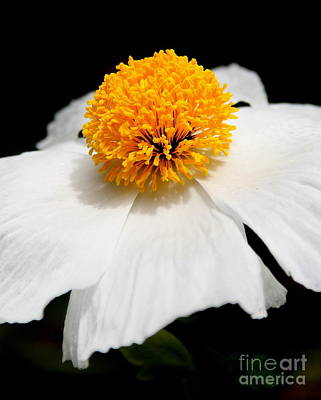 Photograph - White Flower 3 by Wingsdomain Art and Photography